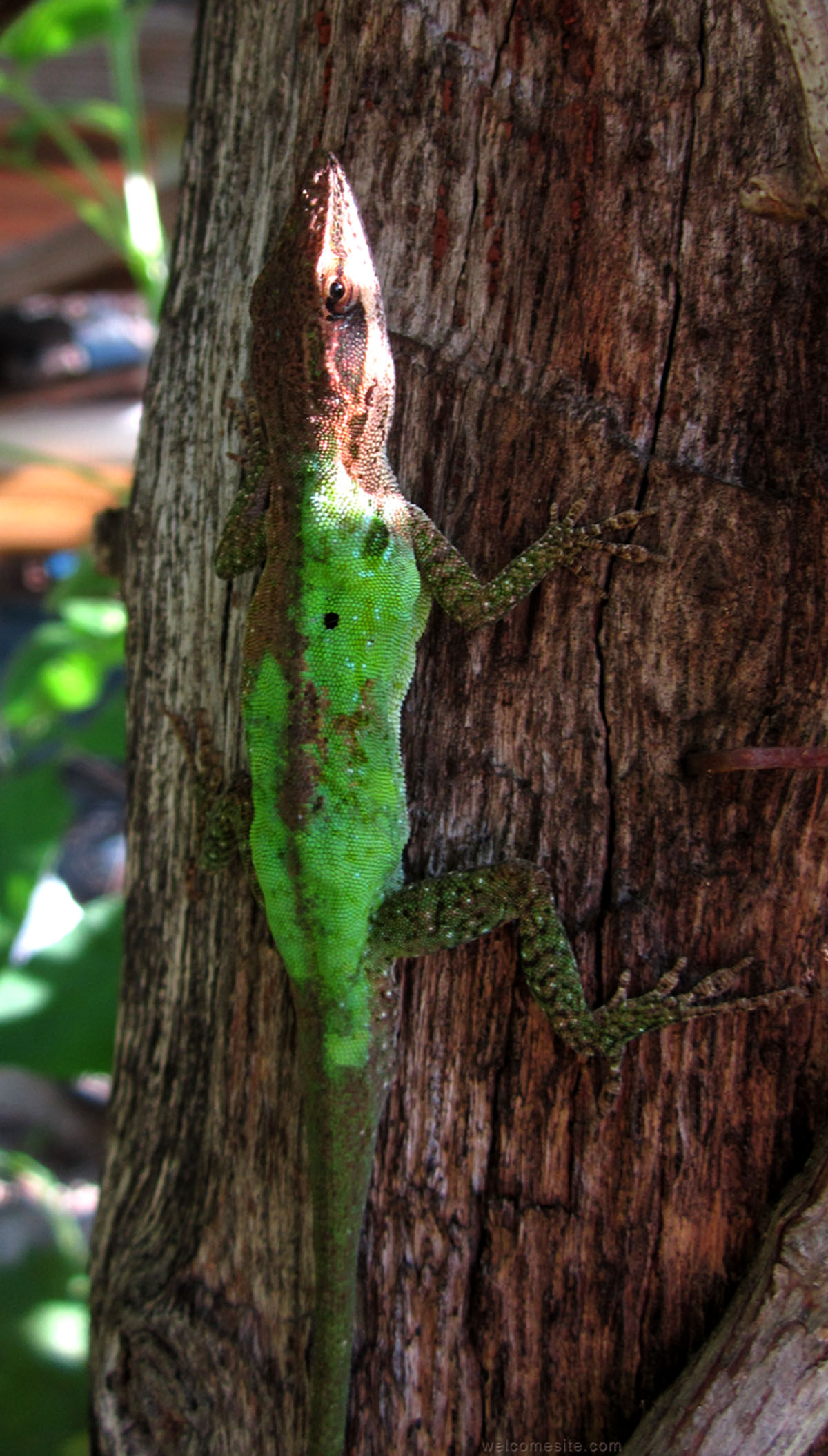 New Study on Color Change In Green Anoles | Anole Annals