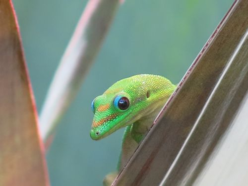 Brown Anoles on Hawaii and Battle of the Intercontinental ...