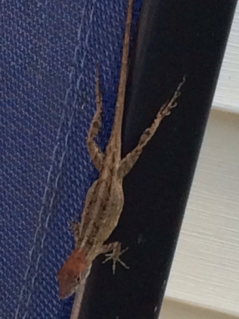More Orange Headed Brown Anoles Anole Annals