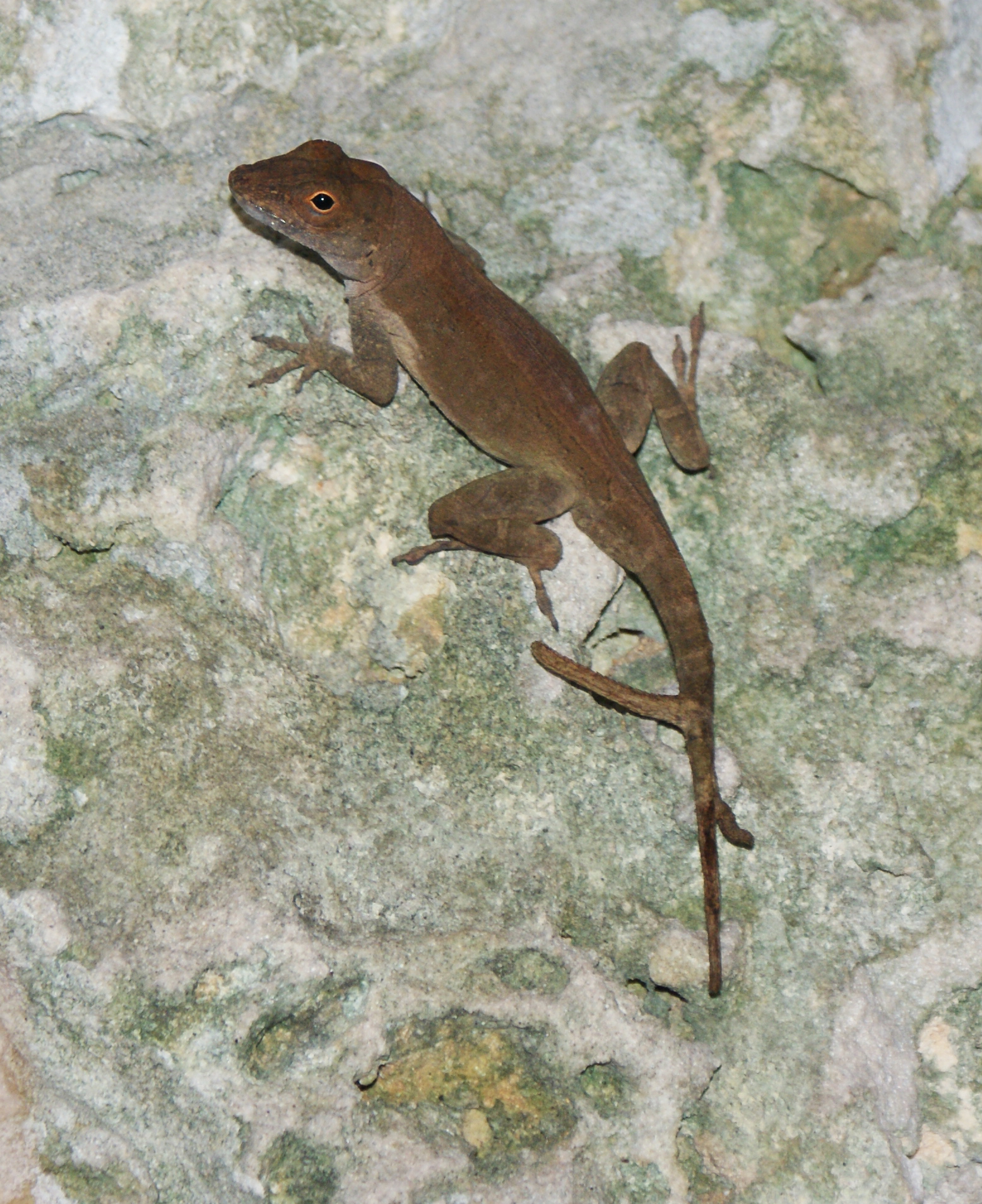 two tailed lizards how u0027d that happen anole annals