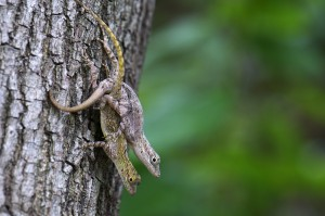 Species of Anolis that copulate more frequently tend to have a larger RPM muscle.
