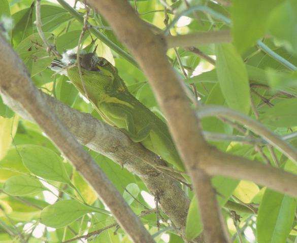 What do green anoles eat?