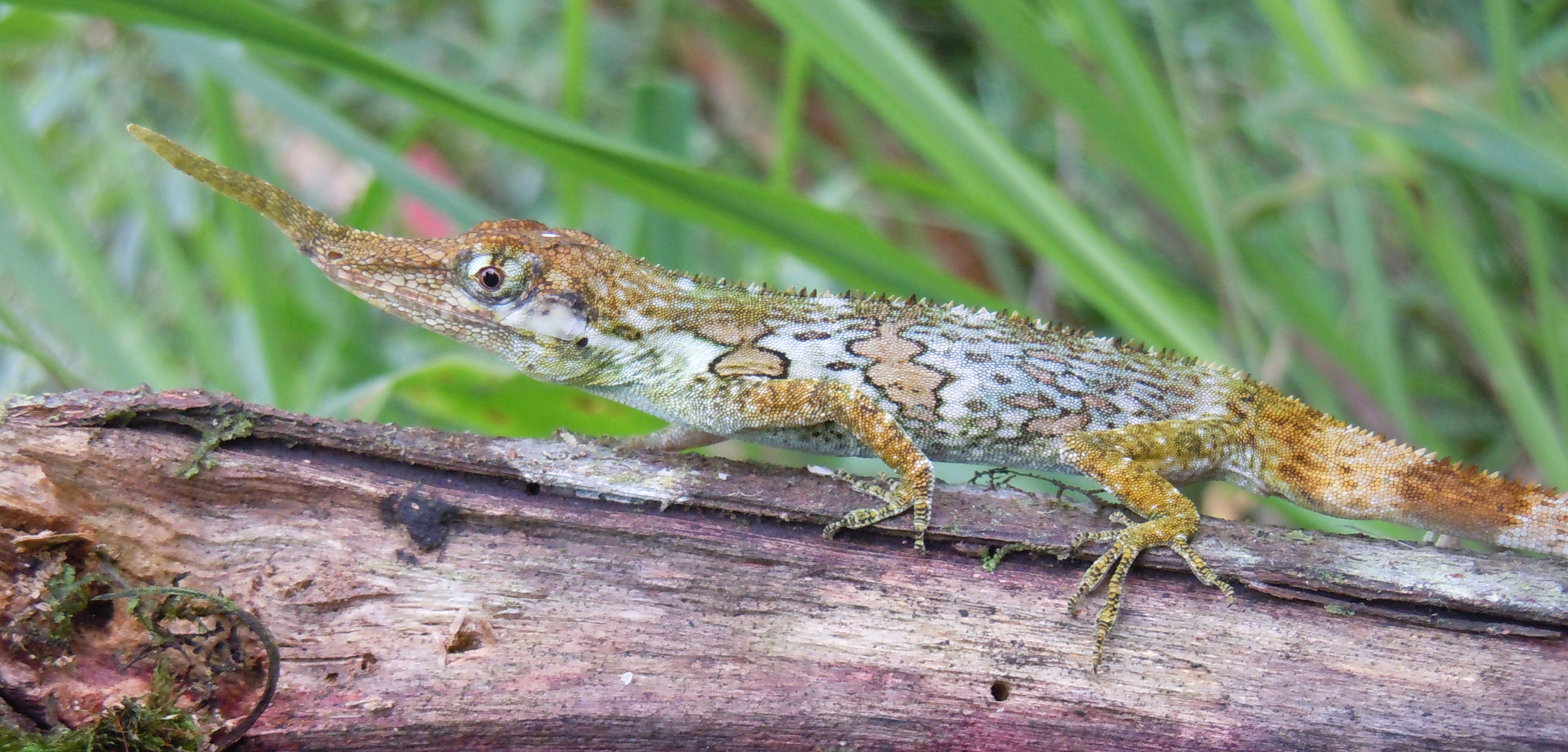 rediscovery of the enigmatic ecuadorian horned anole lizard