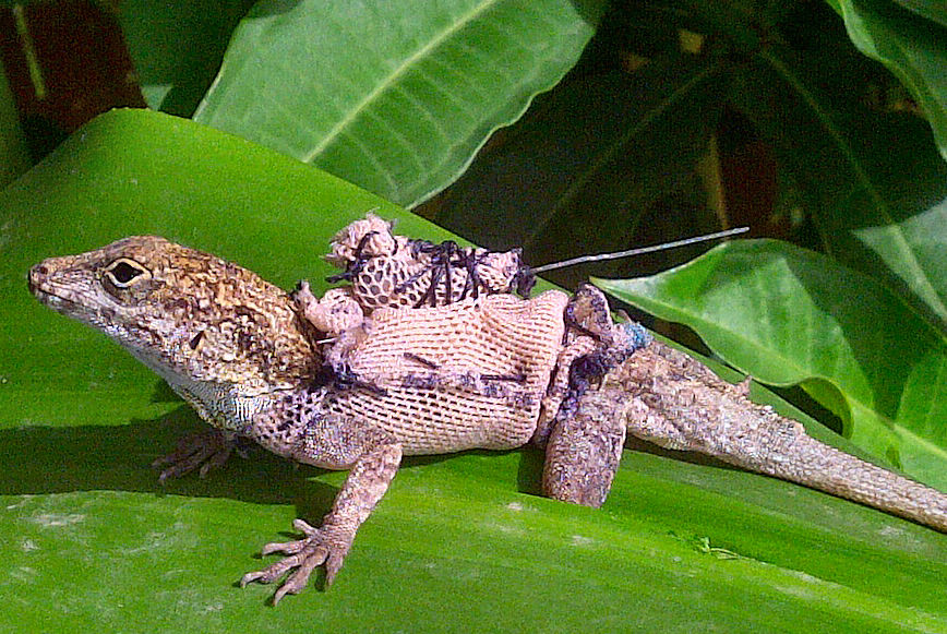 Green anole vs brown anole - photo#13