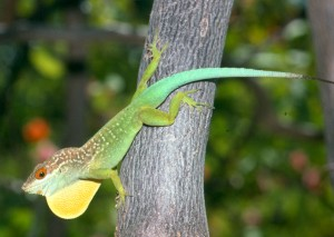 Anolis lividus. Photo by Jonathan  Losos