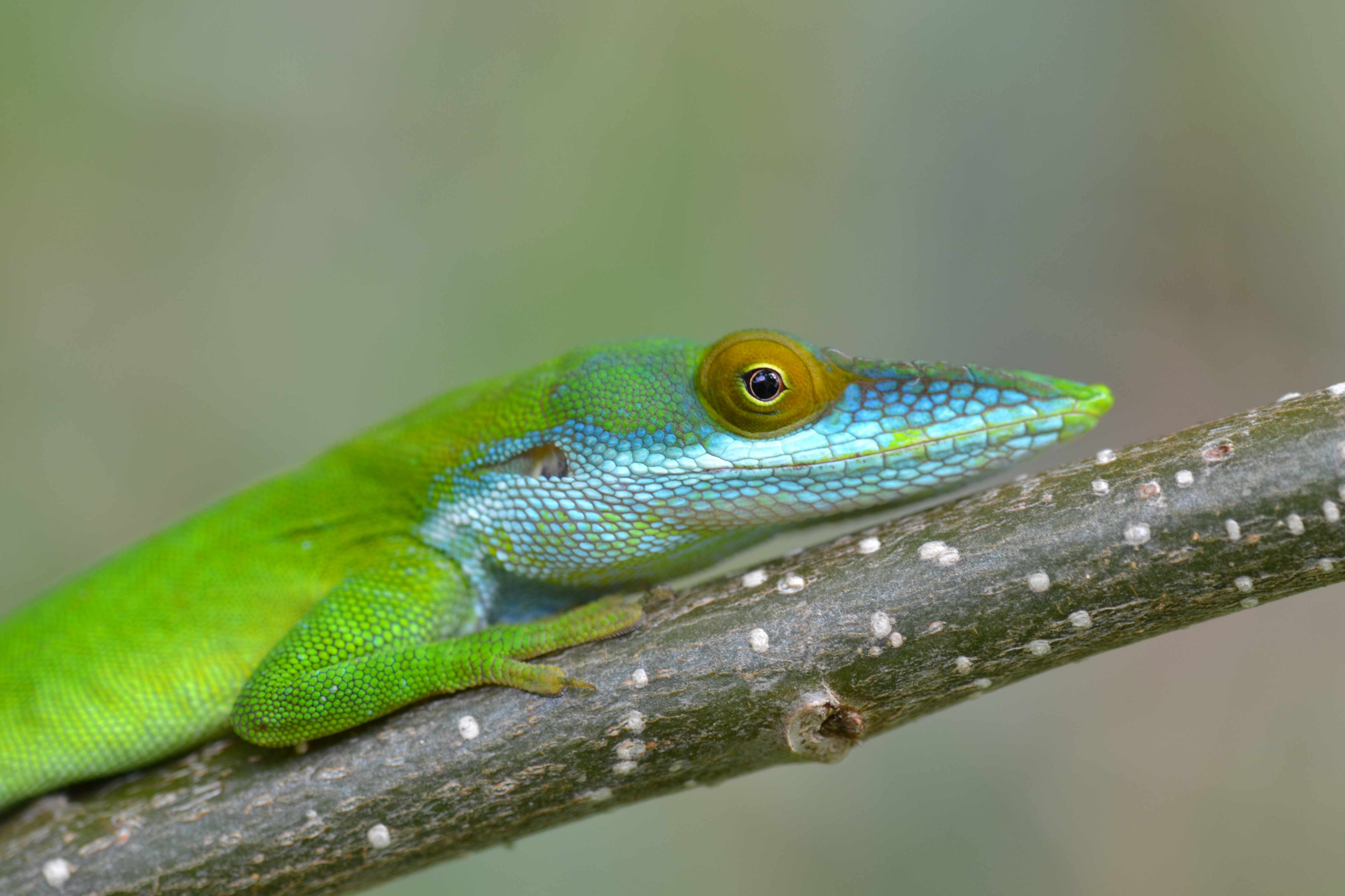 Green And Blue Lizards