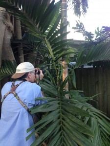 Jonathan Losos photographing an adult male Anolis garmani on the borders of All America Park. Photo by JStroud