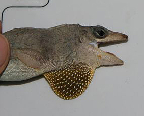 Dewlap of A. sagrei nelsoni from Great Swan Island. Photo by Alexis Harrison.