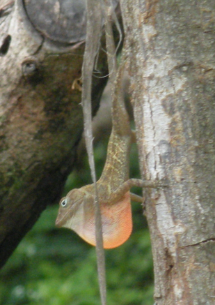 Anolis marcanoi in San Rafael, near Ocoa. Photo: Martha Muñoz