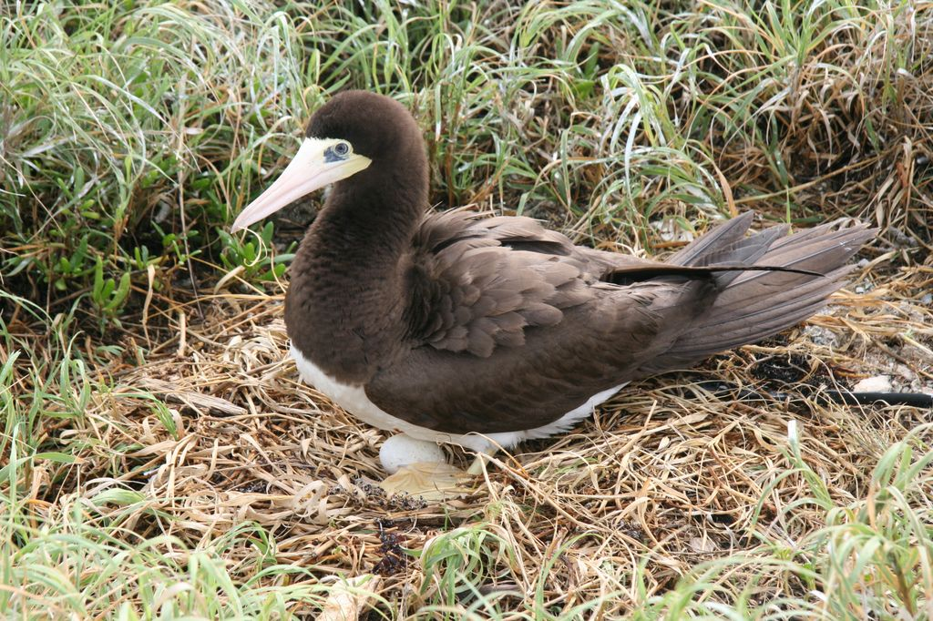 The brown booby, one of the denizens of Great Swan Island.
