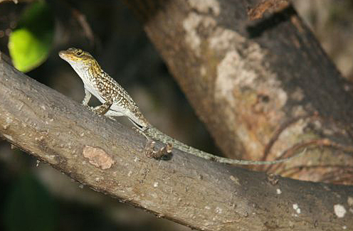 Anolis sagrei nelsoni from Little Swan Island. Photo by Alexis Harrison