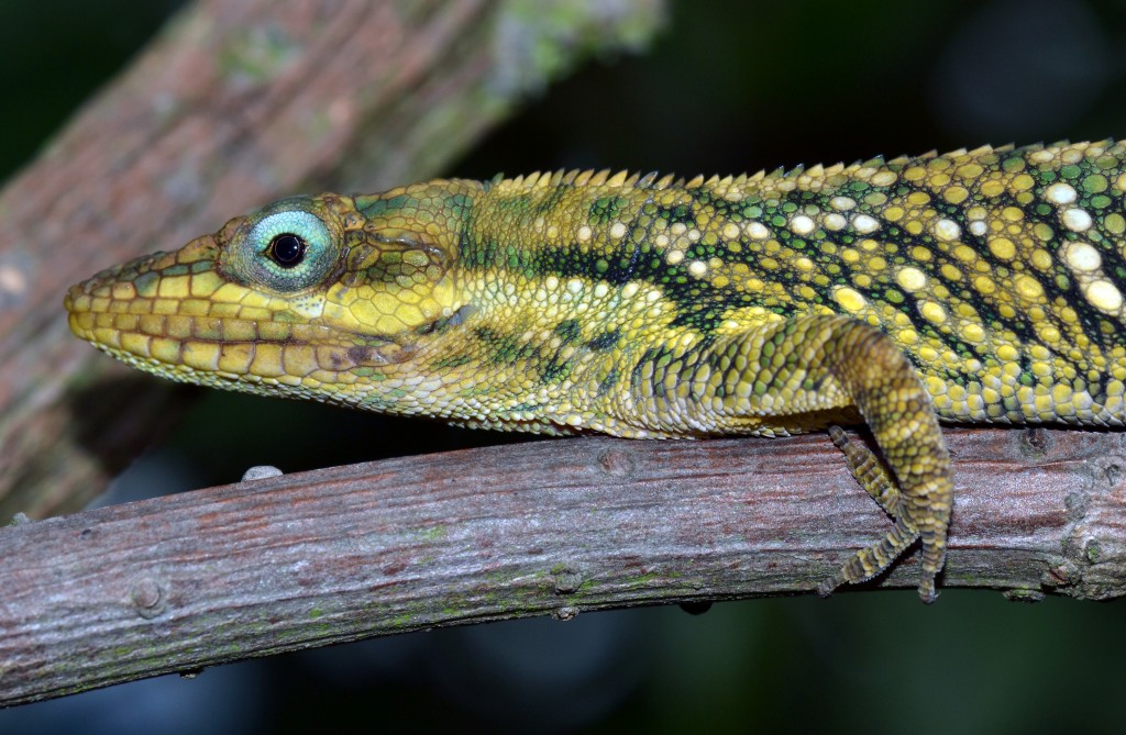 Another A. heterodermus from the same population in Tabio, Colombia. Photo by J. Losos.