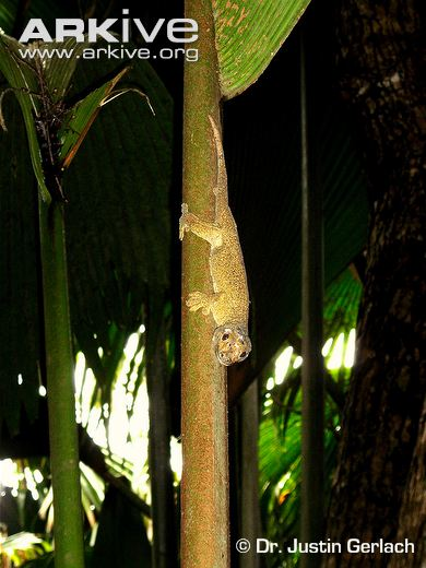 Giant-bronze-gecko-on-tree