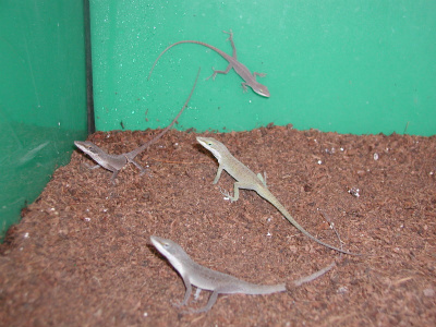 Is this an embarrassment of anoles? Image from petparadise.info.
