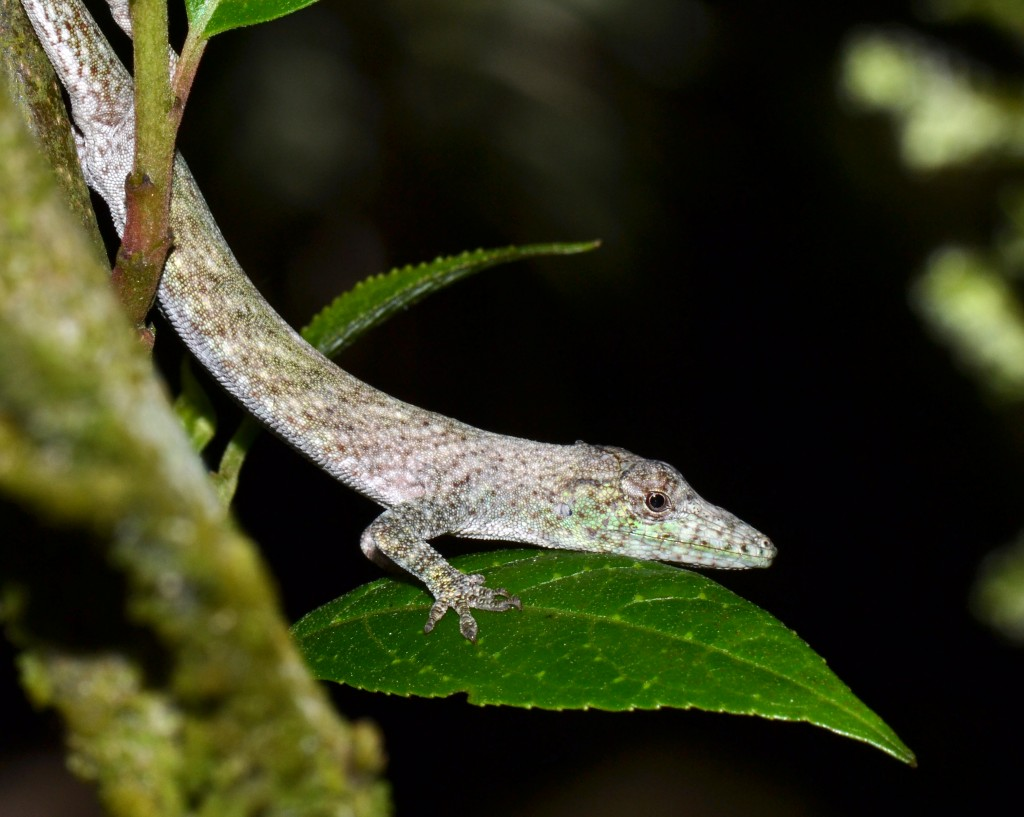 Anolis tigrinus on the prowl. Photo by J. Losos