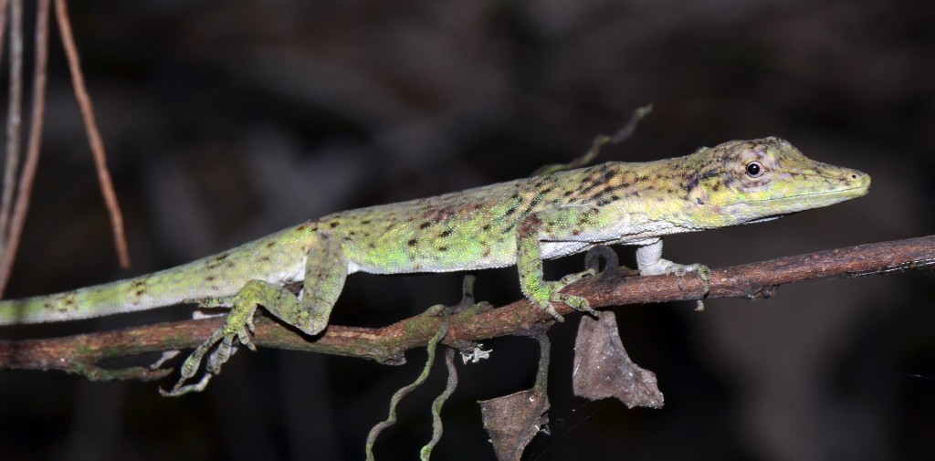An actively foraging anole on the prowl (A. tigrinus; photo by J. Losos)