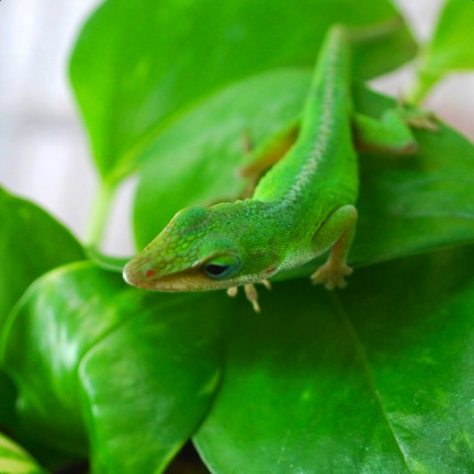 Green anole (Anolis carolinensis). Photo courtesy of Karla Moeller.