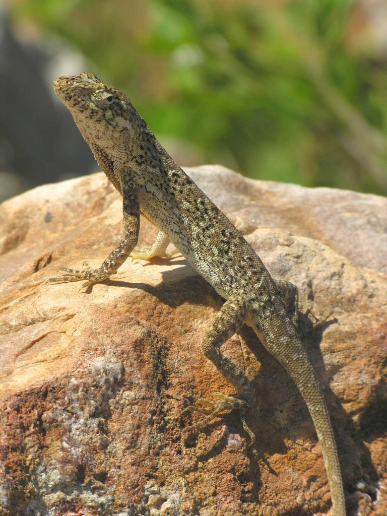 Caribbean Lizards Suggest Evolution More Predictable Than ... |Adult Anole Hendersons