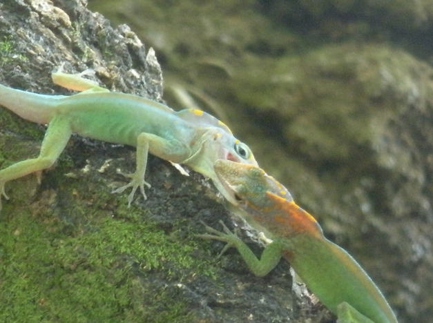Two Anolis marmoratus males fighting on Basse Terre, Guadeloupe