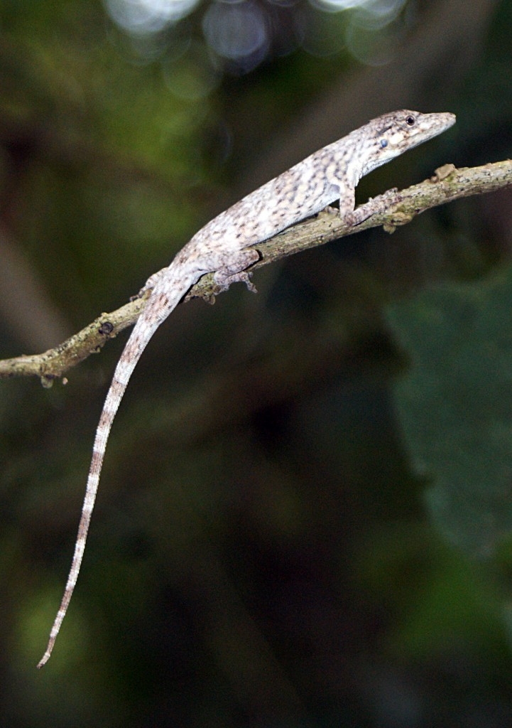 Anolis tigrinus. Photo by Anthony Herrel