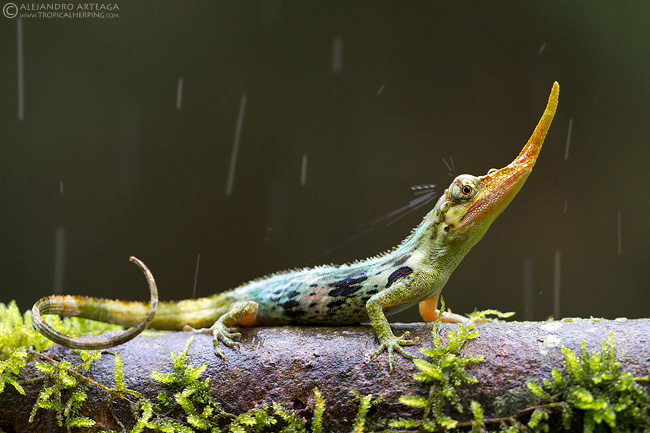 "Ecuador's most wanted! This lizard was thought to be extinct for nearly fifty years, and still after its ""rediscovery"" in 2005, it remains hard to locate."
