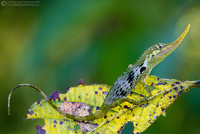 It can be difficult to find. Not only because they are commonly perched on high branches, but also for their camouflage, forming an ideal combination with branches and colorful leaves.
