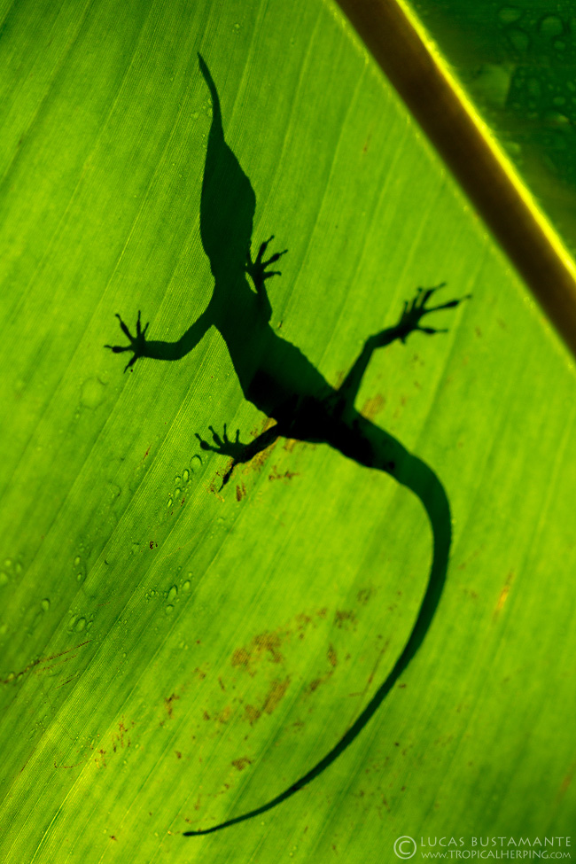 Definitely its silhouette is unmistakable. His sharp proboscis distinguishes it from all Ecuadorian lizards.