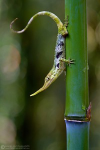 Most records of Horned Anole are in disturbed areas, including near roads vegetation, botanical gardens and bamboo trees.