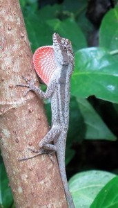 Anolis bicaorum from Utila, one of the forest species in the Logan et al. study. Photo by J. Losos.