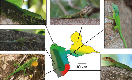 Fig. 1 from Muñoz et al.: Anolis marmoratus subspecies on Basse Terre (left) and Grande Terre (right)