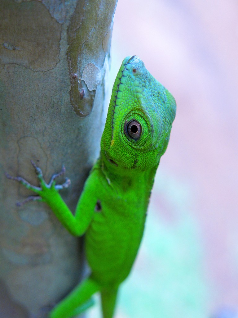 Anolis ricordii. Photo by Miguel Landestoy.