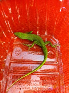 Before you read the article, name that anole