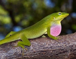 Anolis carolinensis from Miami. Photo by J. Losos.