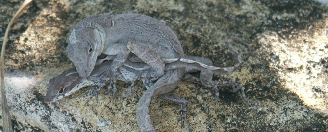 Anolis sagrei mating. Image from Bob Cox's lab website (http://faculty.virginia.edu/coxlab/Cox_Lab/Home.html)