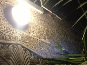Cuban knight anole (Anolis equestris) active and foraging at night with the aid of a wall light above a door