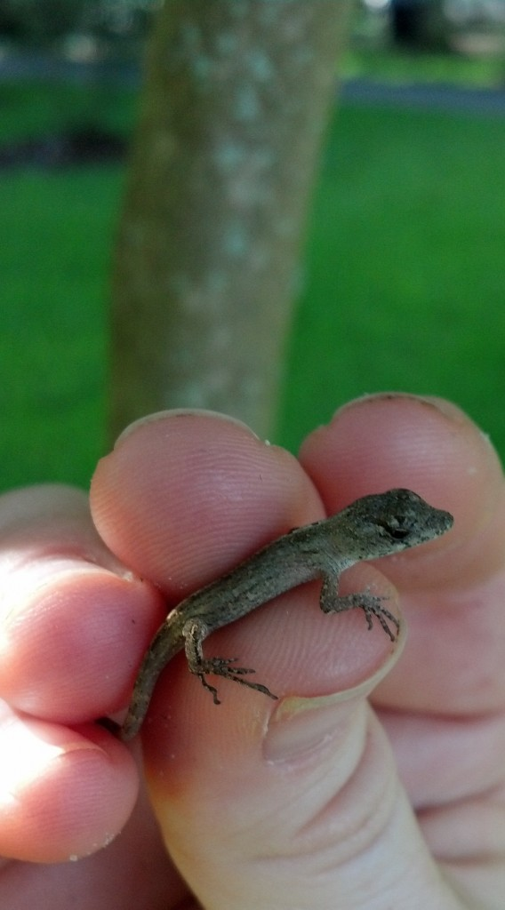 small brown anole