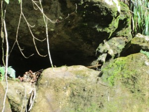 This may take some imagination, but that blur to the right of the central vine - I assure you that's a boulder-loving A. gundlachi!