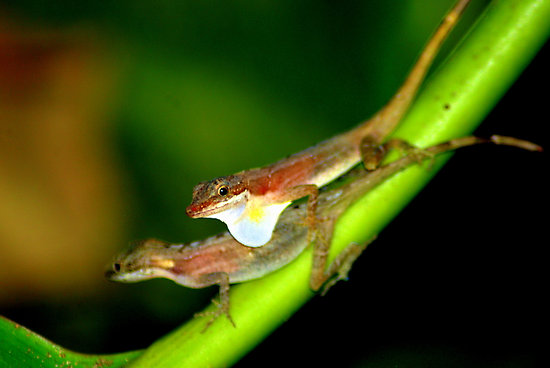 A pair of Anolis limifrons