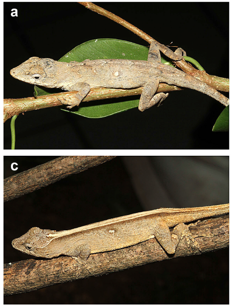 A male A. omiltemanus (top) and a female (bottom). Images are from Köhler et al. (2013)