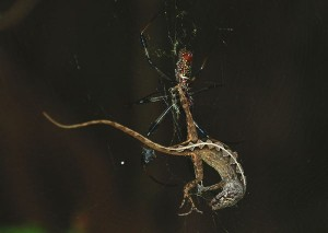A brown anole is caught up in the web of an Argiope orb-weaving spider