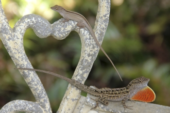 Brown anoles. Photo courtesy Bob Reed