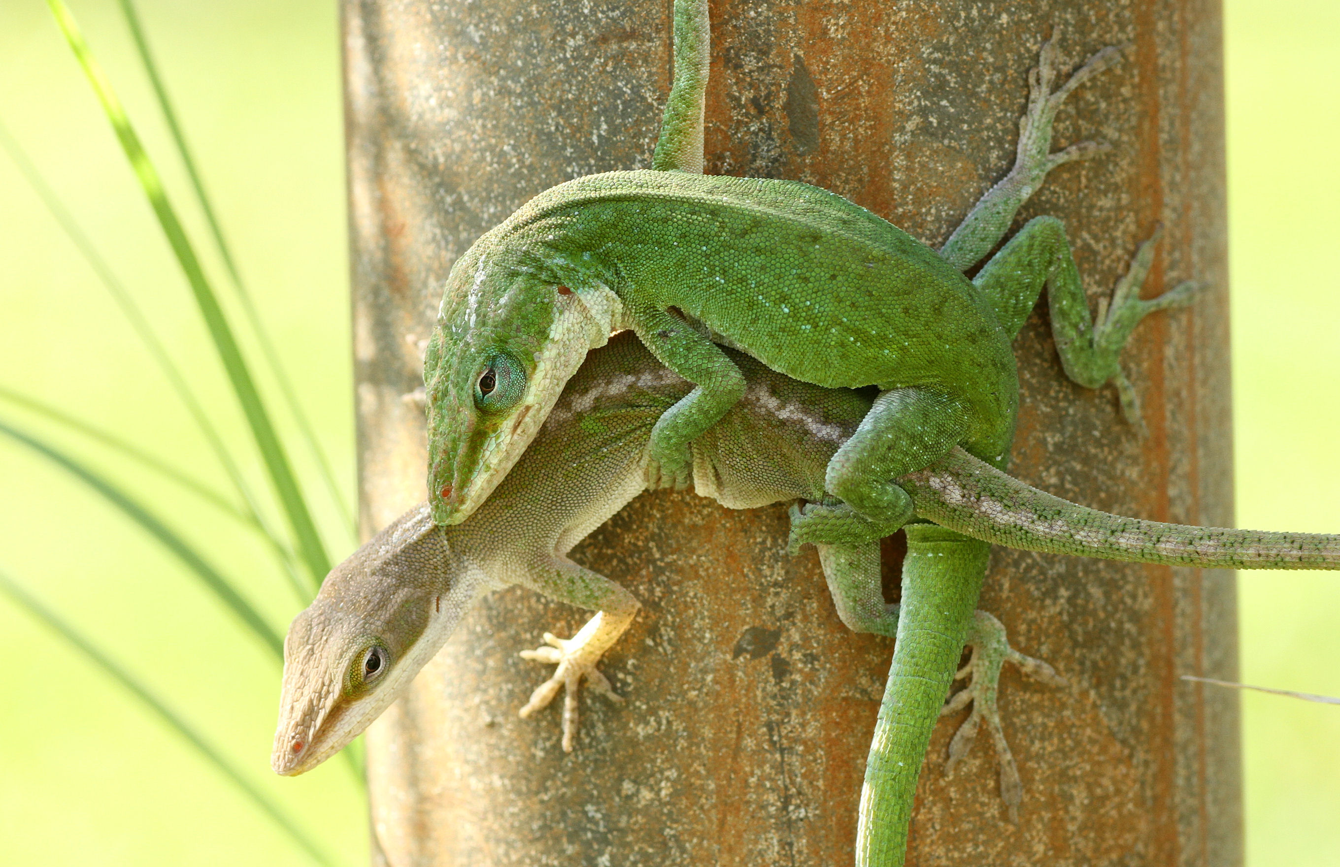 sex chromosomes conserved across anoles and beyond