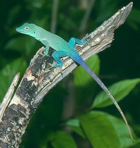 Anolis grahami, a beauty!