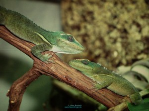 photo from;http://www.saumfinger.de/anolis_equestris.html photo by:Uwe Bartlet ?