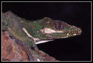 Anois equestris, photo by Henk Wallays.  license:CC BY-NC photo from http://calphotos.berkeley.edu Anolis equestris thomasi
