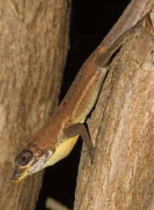 Anolis richardi. (Photo from http://reptile-database.reptarium.cz)