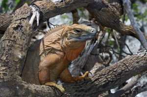 Cyclura collei source;http://www.flickr.com/photos/cyclura/3696292550/