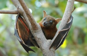 http://upload.wikimedia.org/wikipedia/commons/5/50/Lesser_short-nosed_fruit_bat_(Cynopterus_brachyotis).jpg