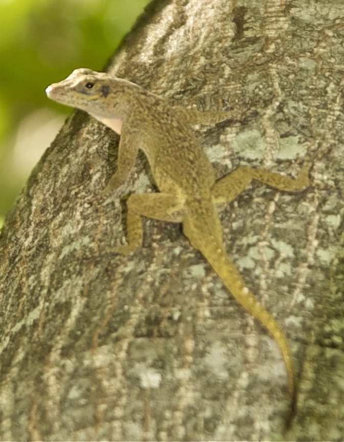 Bark anole, A. distichus