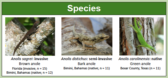 The anole species examined by Davis and Johnson